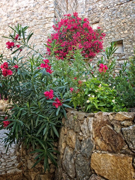 Beautiful flowers, Calvi