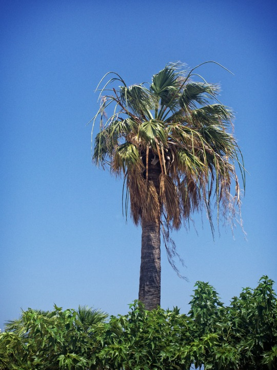 Palm tree, St-Ambroggio