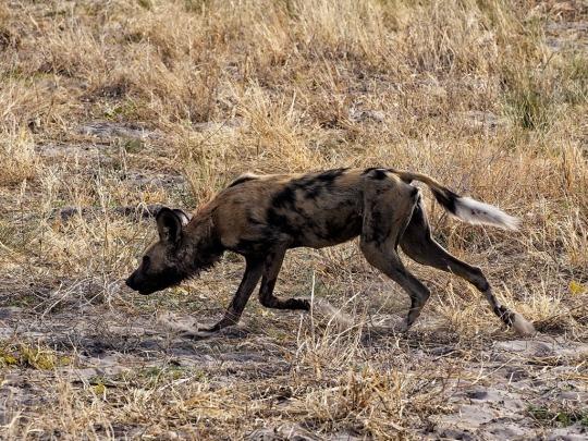 Wild Dog- Savuti, Botswana