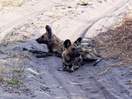 Wild Dogs resting- Savuti, Botswana
