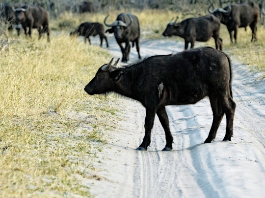 Water Buffalo and bird- Savuti, Botswana