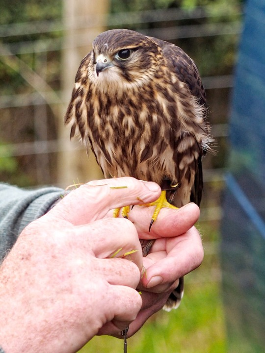 Physician guest's falcon- Nick's estate, Devon