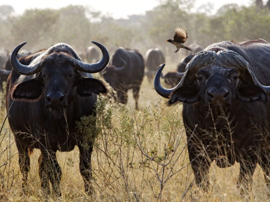 Water Buffalo and brave bird- Savuti, Botswana