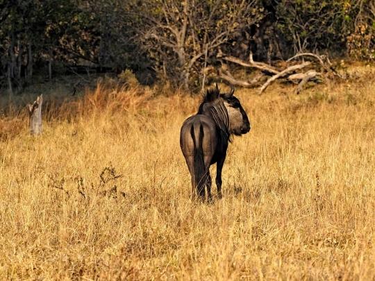 Wildebeest grazing- Savuti, Botswana