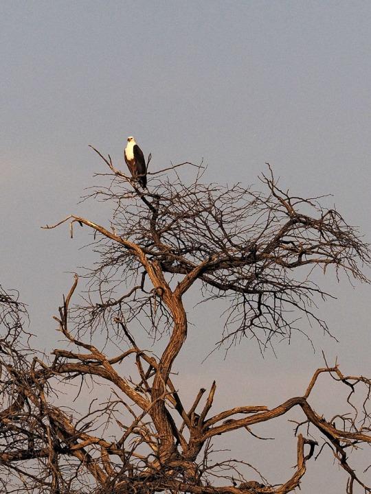 Fish Eagle- Savuti, Botswana
