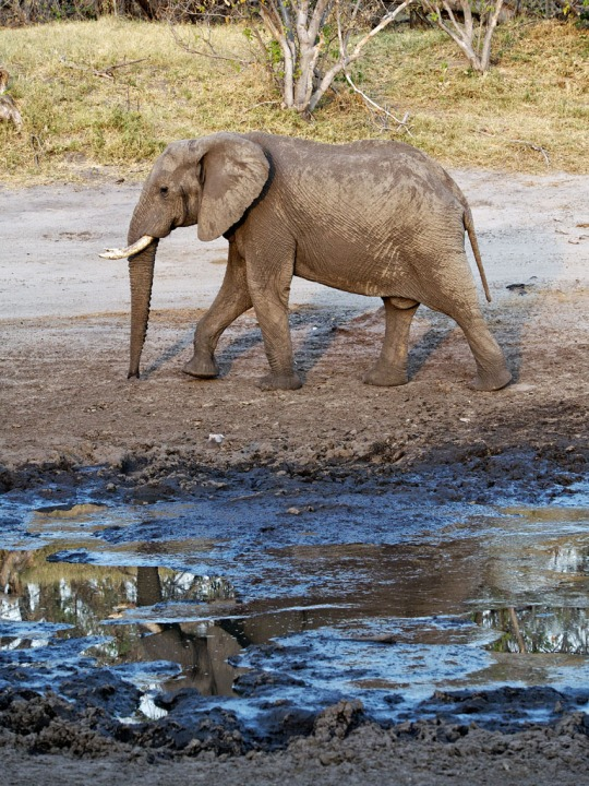 Elephant- Savuti, Botswana