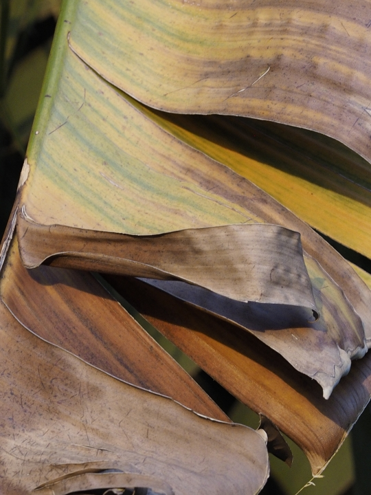 Beauty even in a dying banana tree leaf- Victoria Falls Safari Lodge. Victoria Falls, Zimbabwe Africa