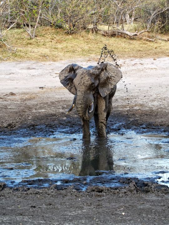 Elephant mud bath spa- Savuti, Botswana