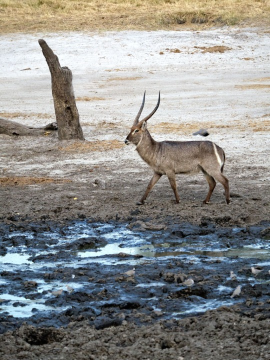 Beautiful Water Buck by watering hole- Savuti, Botswana