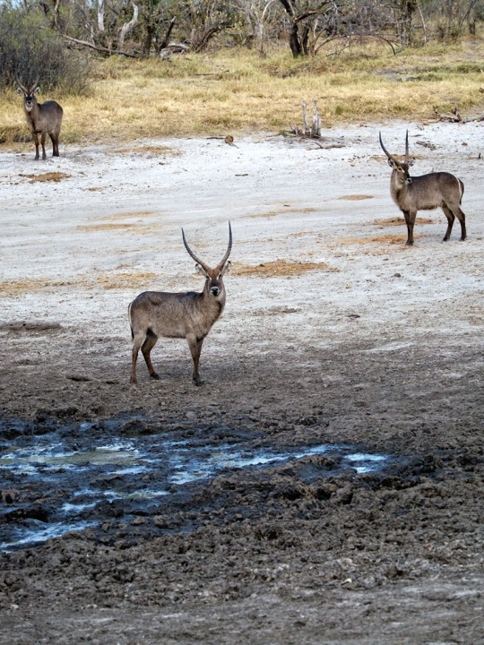 Water Bucks by watering hole- Savuti, Botswana