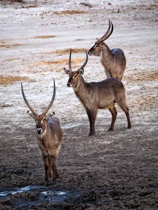 Water Bucks- Savuti, Botswana