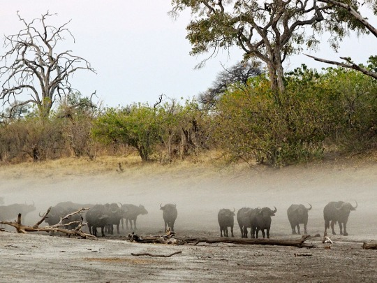Water Buffaloes in the Dust! Savuti, Botswana